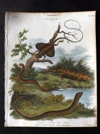 Rees 1820 Print. Australasian Galliwasp, Chalcides, Apodal Lizard, Flying Dragon